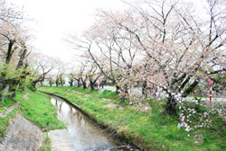 強い風で、桜の花びらも散り始めていました。