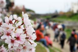 最後の桜を堪能しつつ、岡崎公園へ。