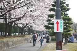 きれいな桜に見送られ、ウォーキングスタート! 案内表示に沿って進みます。