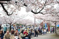 満開の桜の元で食べるお弁当の味は格別です。
