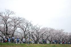 どこまでも続く桜並木を眺めながら、進みます。