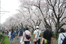 ふたたび、桜並木へ。