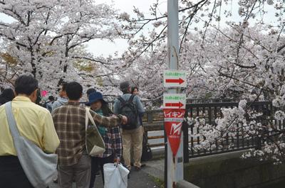 岩倉桜まつりの会場手前で、コースに沿って右折します。