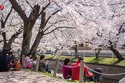 満開の桜のもとでひとやすみ。お弁当の味も格別です。