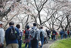 堀尾跡公園を出て、五条川の桜並木を歩きます。