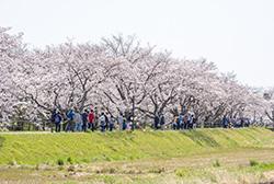 満開の桜並木がどこまでも続きます。