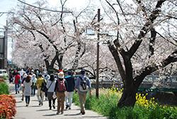川沿いでは、桜だけでなく菜の花なども楽しめました。